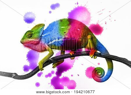 a colored chameleon - close up on a white