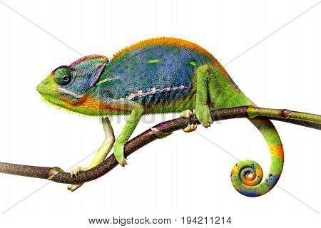 a chameleon close up isolated on white