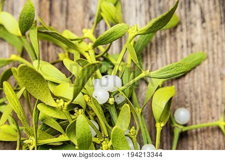 mistletoe plant in detail - close up