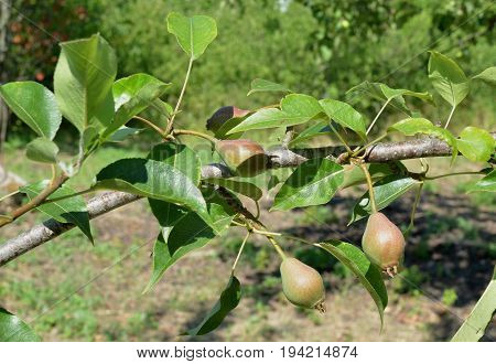 Branch of garden pear with ripening fruits on sunny summer day