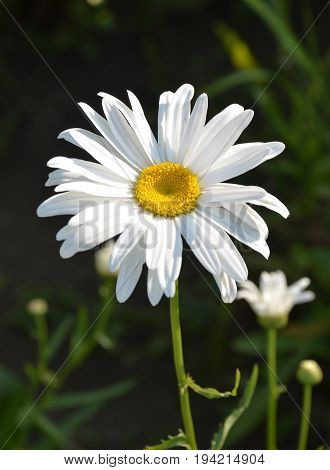 Beautiful daisy flower (lat. Leucanthemum vulgare), closeup. Background blurred