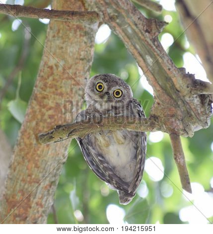 Spotted Owl at Kaziranga National Park Assam India