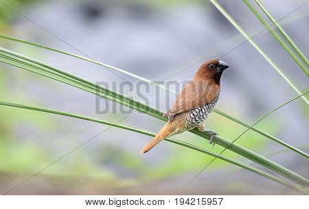 The Scaly brested munia at Darrang Assam India