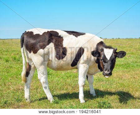 Close up portrait of young cow on the background of green posture. Beautiful funny cow  grazes on cow farm Young, curious black and white calf staring at the camera in natural background