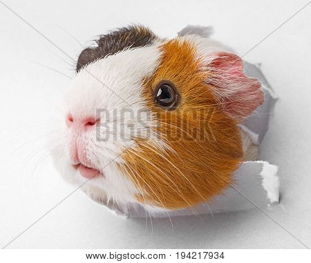 guinea pig looks through a hole in paper