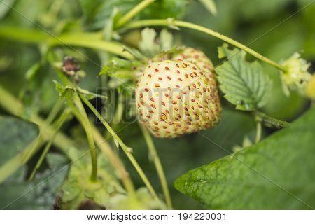 Strawberry Ripening Closeup