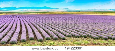Rows of purple lavender field panoramic background