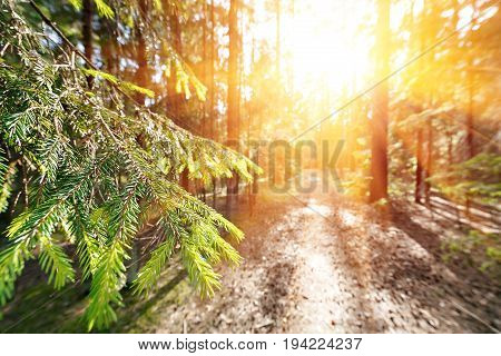 Sun breaking through pine trees. elective focus on the foreground. beautiful summer day for a walk through the pine forest or the Park.