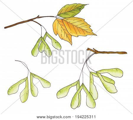 Set Of Autumn Leaves And Seeds Of Ash Isolated On White Background.