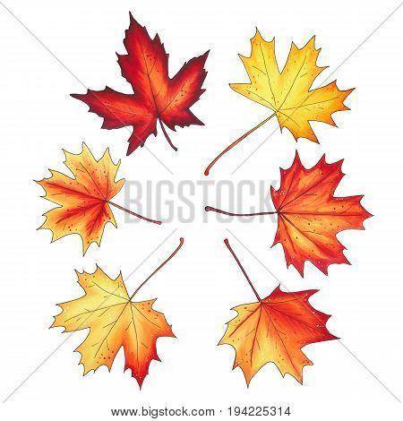 Set Of Autumn Maple Leaves Isolated On White Background.