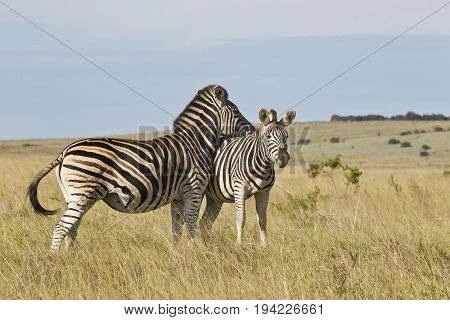 two zebras in a field of long grass with one resting its head on the others back