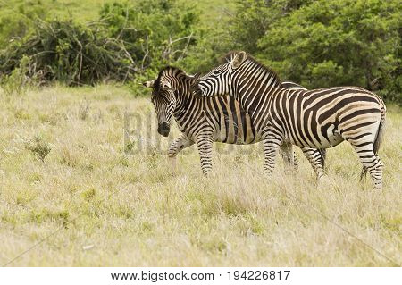 Zebras playing in a field of long grass with one biting the other on the neck