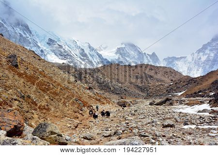 Yak drover with caravan of yaks on the way from Lobuche to Gorak Shep. Trek to Everest base camp Nepal