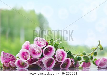 Purple Foxglove on the background of the forest