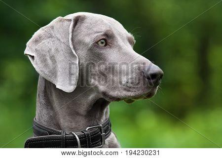 portrait of weimaraner dog on green blurred background