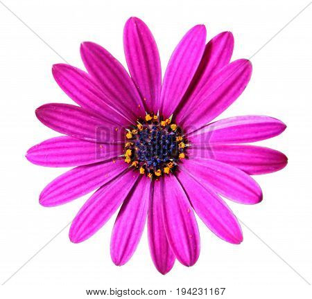 Flower of African daisy isolated on white background closeup