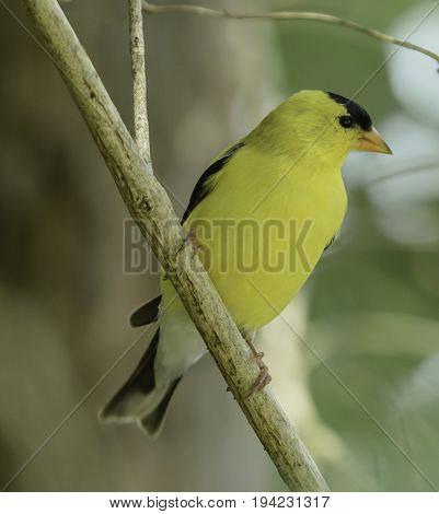 A closeup of a male American Goldfinch (spinus tristis) perched in a tree in Andover Township, New Jersey, USA.