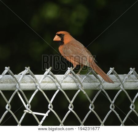 A male Northern Cardinal (Cardinalis cardinalis)  sitting on a chain link fence, shown in left profile, in Andover, New Jersey, USA.