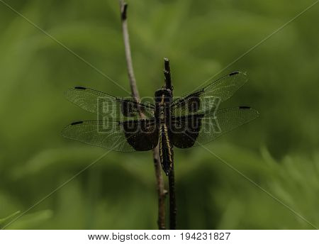 A Widow Skimmer Dragonfly (Libellula luctuosa), also known as a King Skimmer, sits on a reed, drying its wings in the sun , in a filed in Andover Township, New Jersey, USA.