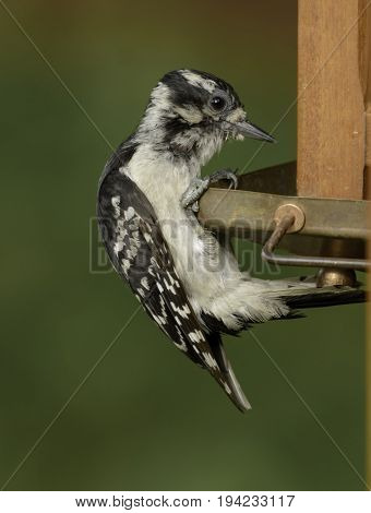 A Downy Woodpecker (Picoides pubescens) clutching the edge of a bird feeder as it inspects the seeds contained in the feeder, in Andover Township New Jersey, USA.