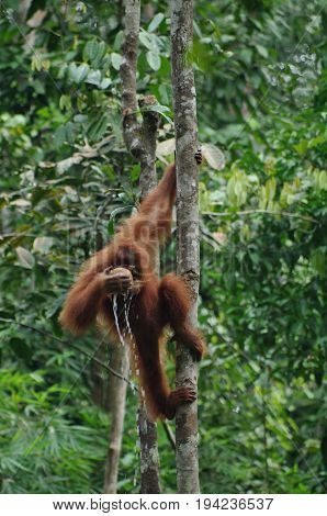 Orangutan or pongo pygmaeus in the wild. Small orangutan hang on the tree and drink a water from the kokos in his hand. Animals in wild, wildlife