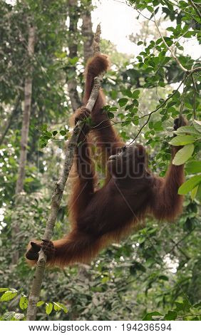 Great Ape on the tree. Orangutan or pongo pygmaeus in the wild.
