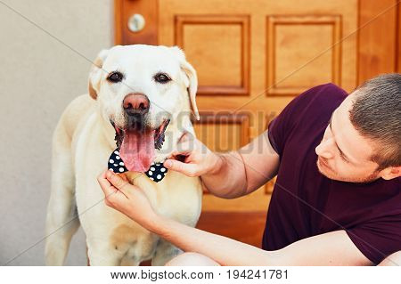 Fashion for dog. Young man dresses his labrador retriever with spotted bow tie.