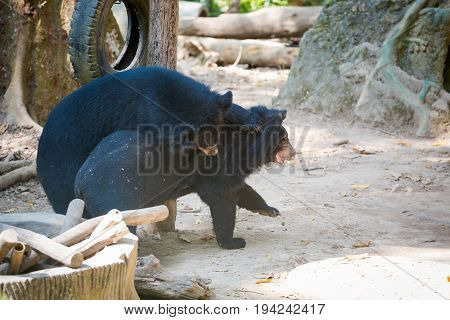 Bear Rescue Centre In Laos