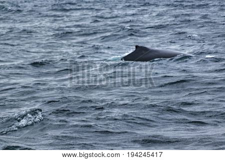Body Part Whale At Ocean