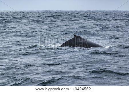 Body part of big whale at pacific ocean in Salinas Ecuador