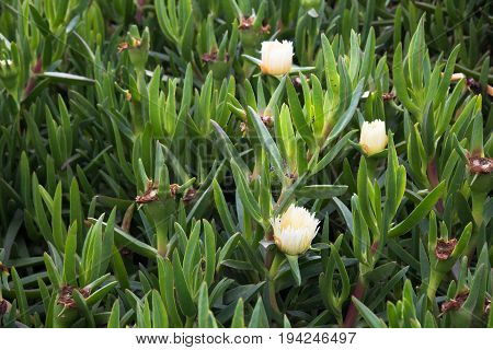 Carpobrotus edulis plant blooming outdoors. Carpobrotus edulis is native to South Africa. It is also known as Hottentot-fig[1] ice plant highway ice plant or pigface and in South Africa as the sour fig (suurvy; earlier: hotnotsvy) on account of its edible