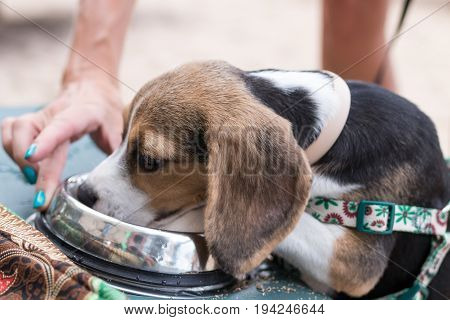 Puppy dog beagle drinking water from a bowl - small Beagle dog.