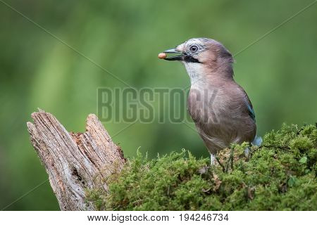 A profile portrait of a eurasian jay standing on lichen with a peanut in its beak looking left