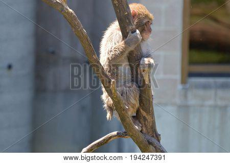 A snow monkey sitting on a branch