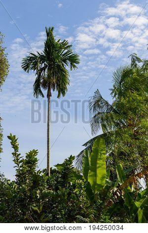 Beautiful Alone Tall Coconut Palm Tree