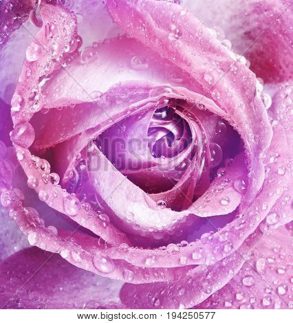 floral background with a pink dewy rose