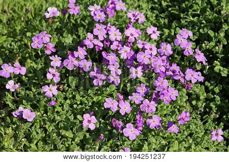 Aubrieta deltoidea. Common names include lilacbush purple rock cress and rainbow rock cress is cultivated as groundcover in the rock garden