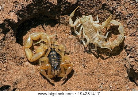 Common Yellow Scorpion (Buthus occitanus) next to shed skin