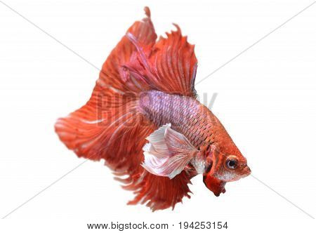 Red Haft Moon Long Tail Betta Fish