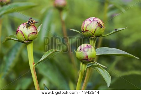 Hornet And Ant And Fly On A Peony Bud
