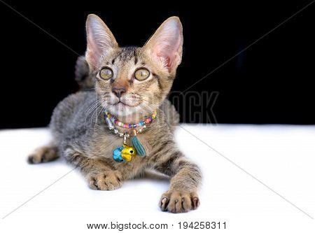 The Portrait Of Thai Kitty Cat