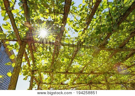 Sunlight through the grape leaves on the roof of the patio. hanging liana on the wooden roof. bottom view.  green background