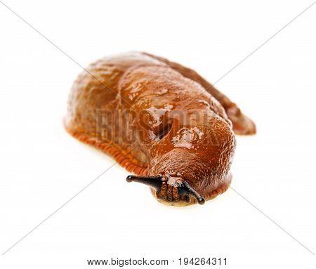 a slug isolated on a white background