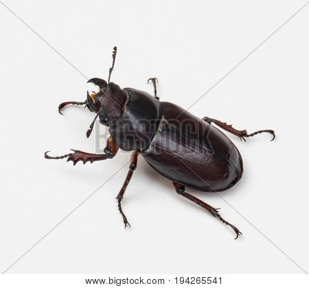 Female Stag Beetle, Left Side