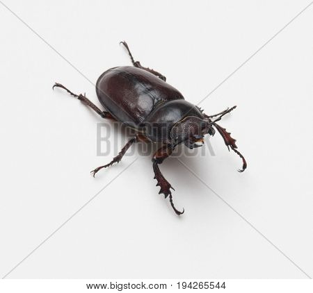 Female Stag Beetle, Front View