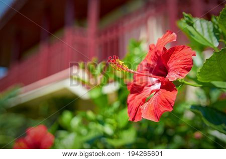 Beautiful red hibiscus flower in hotel garden in front of luxury wooden chalet style villa. Botanic red flower pistil and stamen. Tropical island holidays vacations famous tours.