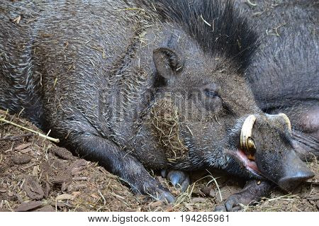 A Visayan Warty Pig laying in the mud