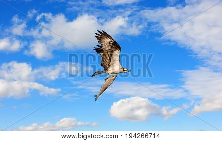 Osprey flying in the clouds over the Chesapeake Bay with a very large fish in its talons