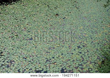 Bright summer sun reflects off the surface of a pond covered in green lily pads