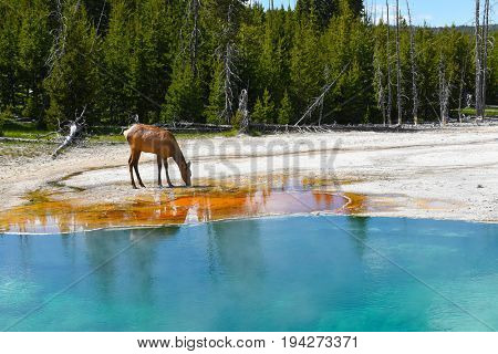 A female Elk (cow) drinking at a hot spring in the West Thumb Geyser Basin in Yellowstone National Park.